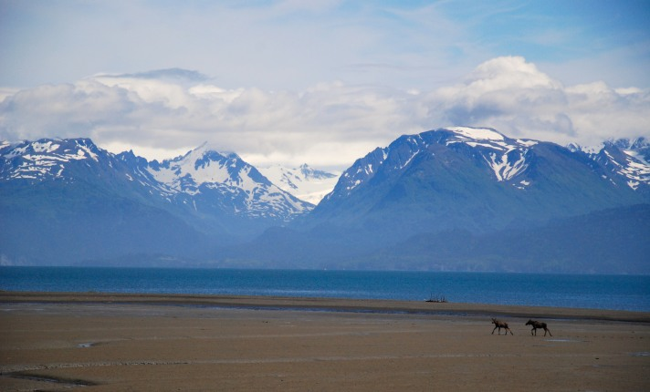 Moose in Homer Alaska