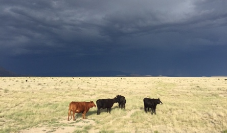 Cows of the Very Large Array